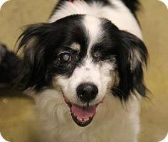 Kennesaw, GA - Papillon Mix. Meet Marcy, a dog for adoption. http://www.adoptapet.com/pet/12705015-kennesaw-georgia-papillon-mix