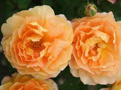 caribia roses   Parkrose 'Alba Suaveolens' EUR 7,90 Strauchrose 'Rose de Resht' ab EUR ...