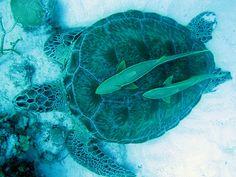 """Além dos parques, uma excelente opção para mergulho, mais tradicional com equipamento completo, é a Praia de Akumal – cujo nome significa """"lugar das tartarugas"""". Trata-se de uma região de proteção ambiental onde a grande atração são as tartarugas gigantes que nadam bem próximo a costa. Para os mais aventureiros, não é difícil encontrar locais para praticar esportes de superfície como: kitesurf, windsurf, stand-up paddle, caiaque, esqui aquático, entre outras modalidades."""