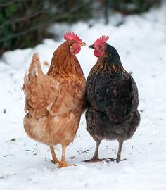 Rooster & Mother Hen talking It over ! Whats You take on this PaPa Rooster? Cock a Doodle Do! This Snow is for the *Birds, that can Fly South for the Winter! Farm Animals, Animals And Pets, Cute Animals, Chickens In The Winter, Chickens And Roosters, Fancy Chickens, Tier Fotos, Mundo Animal, Raising Chickens
