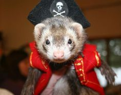 In pirate attire. I honestly Think I need a ferret.