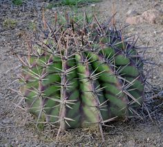 Click image for larger version Name: Awesome echinocactus platyacanthus.jpg Views: 51 Size: 130.9 KB ID: 14834