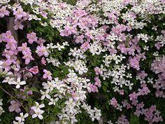 Clematis montana 'Rubens' & 'Grandiflora' - Another! Rock Garden Plants, Garden Types, White Gardens, Small Gardens, Clematis Montana Rubens, Platycerium, My Secret Garden, Secret Gardens, Exotic Plants