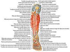 Aula de Anatomia   Músculos da Perna