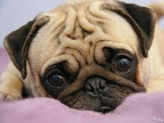 Pugs...just waiting for my humans to come home I missed them today.