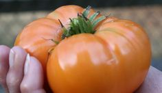 Summer is tomato season. Ensure you get an ample harvest with these gardening practices.