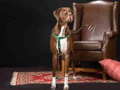 HAMLET is an adoptable Hound Dog in Vero Beach, FL.  ...
