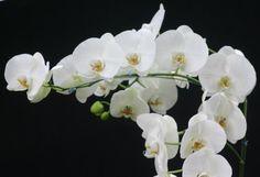 Orhideede hooldamine