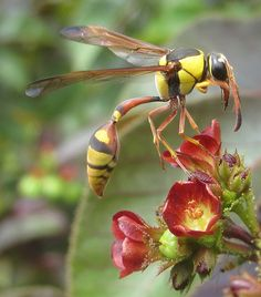 Here is a potter wasp, courtesy of Tonrulkens, who else? Thank you! http://www.flickr.com/photos/47108884@N07/