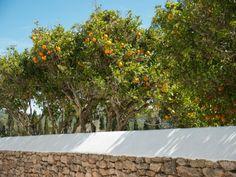 Orangen pflanzen