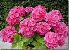 Resultado de imagen para gardenias de colores