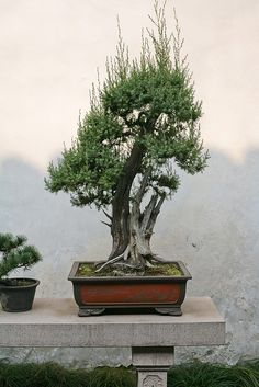 Bonsai tree in a pot. Shanghai, China