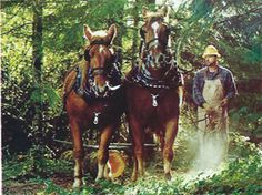 Logging with Suffolk geldings in Oregon.