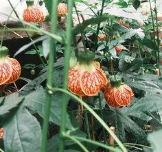 Abutilon Tiger Eyes  Wowza!  Come see us at booth #1211.