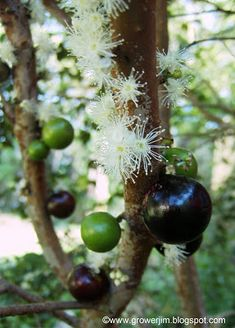 Garden Adventures: Jaboticaba (Myrciaria cauliflora) - native to brazil. SLOW growing makes it not so popular. Grows into a large tree - can take 10 years to bear fruit. Dried skin of fruit used to treat asthma, diarrhea... the flower/fruit is right on the tree stems.