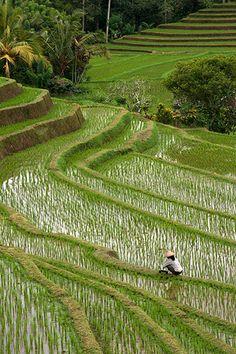 Rizières de Belimbing à Bali