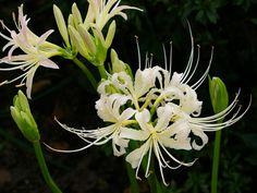 秋の花 シロヒガンバナ