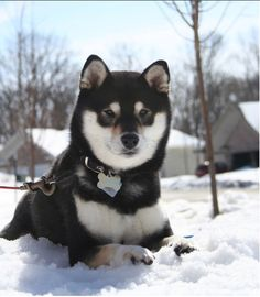 Black and tan Shiba Inu, would take any Shiba Inu. Specifically rescues.