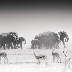 THE GROUP by Tillmann Konrad #Photocircle #nofilter #elephants #antilopes #Namibia #Africa #blackandwhite #animalphotography #naturephotography #photoart #monochrome #photooftheweek #picoftheday happymonday  #Closethecircle - if you buy this photo Tillmann Konrad and Photocircle #donate 8% towards helping #children from a #township in #SouthAfrica obtain an #education