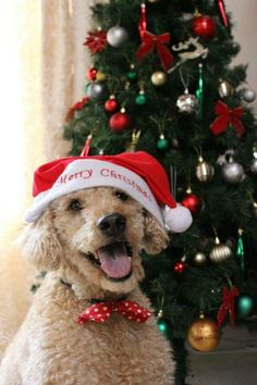 Christmas Poodle Dog Christmas Pictures, Christmas Animals, Merry Christmas Dog, Christmas Time, Santa's Little Helper, Dogs And Puppies, Doggies, Dog Activities, Animal Decor
