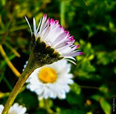 Daisy by teresa de pizzol on 500px