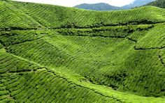 MALAYSIA // Cameron Highlands, from 'Malaysia's Most Beautiful Places to Visit: Must-See Destinations' // http://theculturetrip.com/asia/malaysia/articles/malaysia-s-most-beautiful-places-to-visit-must-see-destinations/