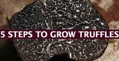 How To Grow Black Truffle Fungi: http://truffleinfo.com/how-to-grow-truffle-mushrooms-in-5-clear-steps/#more-7