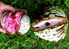 Ilama: Rare Fruit Seeds and Exotic Tropical Fruit Seeds