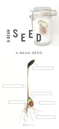 Watching a simple bean seed sprout offers children the opportunity to observe and document change over time. As the bean goes through its changes, children can witness the life cycle of a plant and identify the various parts as they unfold before their very eyes. by playfulllearning #Kids #Science #Seeds