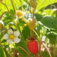 Wild Strawberries  #BlueBellyFarms #garden #gardening #soil #soilgrown #wildstrawberries #strawberries #enjoytheday #grateful #santacruzgrown #nature #pollination #pollinators #bees #sunshine #sun #solarenergy #cannabiscommunity #santacruzflowers #lifeisgood #cannabis #medicalcannabis #outdoors #summer #SantaCruz #California