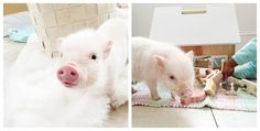 I officially want a miniature pig. seriously soo cute!!