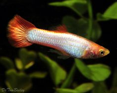 Coral red guppy