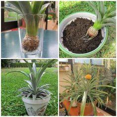 Comment cultiver un ananas. 16 fruits et légumes à faire pousser à partir de leurs restes