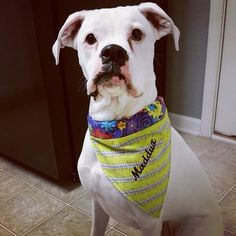 Maddux sports her custom Collar Rap -purple and citron butterflies and daisies. Fab look for your fashionista pup. Size XL shown by CollarRap on Etsy