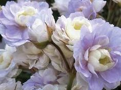 geranium summer skies - Google Search