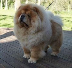 Imagen de dog, cute, and chow chow - My ideas Chow Dog Breed, Chow Chow Dogs, Dog Breeds, Fluffy Dogs, Fluffy Animals, Cute Baby Animals, Cute Dogs And Puppies, Baby Puppies, Doggies