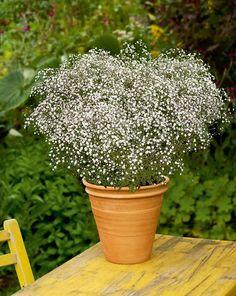 Übersicht: Winterharte Pflanzen für den Balkon: Schleierkraut (Gypsophila)