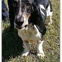 Marietta, Georgia - Basset Hound. Meet Silvie, a for adoption. https://www.adoptapet.com/pet/19783582-marietta-georgia-basset-hound