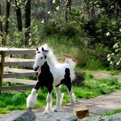 Gypsy Vanner Foal