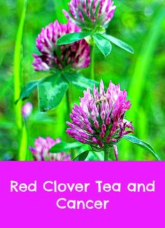Red clover tea and cancer. In the mid 1900's, red clover was part of a famous herbal formula used to treat cancer. But Harry Hoxsey, the man dispensing it was mercilessly prosecuted, despite the fact a medical doctor oversaw the treatment. He was forced to flee to Mexico.