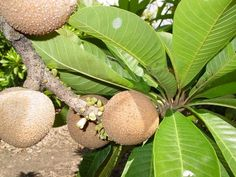 Caribfruits - Sapote / Fruits Tropicaux