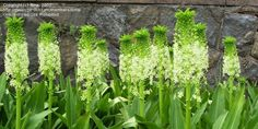 Full size picture of Variegated Pineapple Flower, Pineapple Lily (Eucomis bicolor)