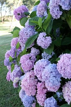 Hydrangea - I thought this picture was taken in my front yard when I first looked at it. Looks just like my Hydrangea and my yard. Hortensia Hydrangea, Hydrangea Care, Hydrangea Bush, Purple Flowers, Beautiful Flowers, Purple Hydrangeas, Hydrangea Colors, Dream Garden, Garden Projects