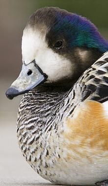 Chiloe Wigeon male