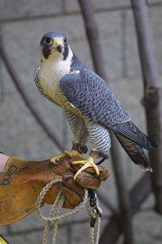 El halcón peregrino (Falco peregrinus) El halcón peregrino se usa en la cetrería desde hace más de 3.000 años, cuando iniciaron su utilización los nómadas en Asia Central. Por su capacidad de lanzarse en picado a altas velocidades, era muy solicitado y usado a menudo por halconeros con experiencia. Durante la Segunda Guerra Mundial fueron utilizados para interceptar a palomas mensajeras