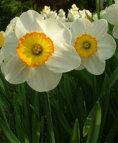 Narcissus Flower Record - Large Cupped - Narcissi - Fall 2013 Flower Bulbs
