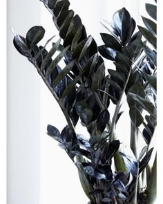Zamioculcas has a tried and tested status as a rugged house plant, but Raven is a remarkable new twist with dark foliage. Zamioculcas Raven is a new variety that stands out for its black leaves making a bold statement in any position. Big Indoor Plants, Outdoor Plants, Garden Plants, Indoor Gardening, Zz Plant, Gothic Garden, House Plant Care, House Plants Decor, Bedroom Plants