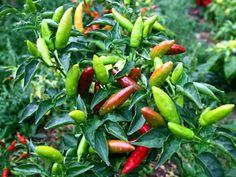 edible landscape design | Edible Landscaping