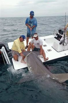 This is a boca grande monster hammerhead, i told you that they are huge and even more impressive when your holding on to what they want to eat, a tiny 150lb tarpon. not for the faint of heart