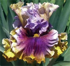 Tall Bearded iris are over 27 and bloom late in the season.